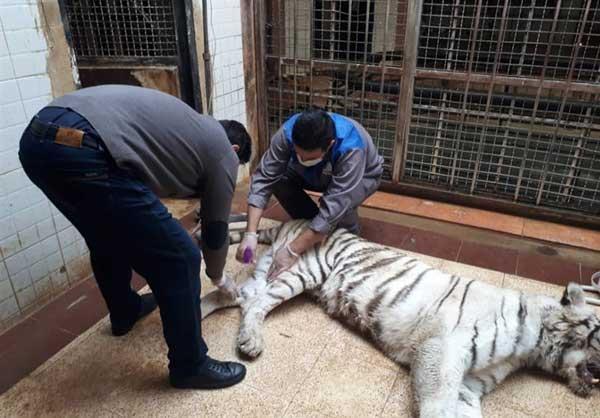 نزاع مرگبار دو ببر در باغ وحش ارم (