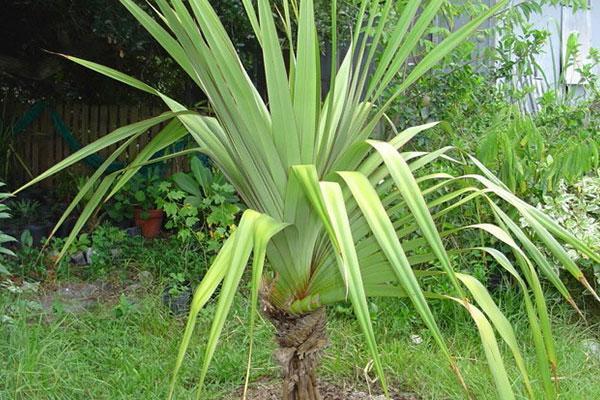 روش تکثیر و نگهداری گیاه پاندانوس در آپارتمان