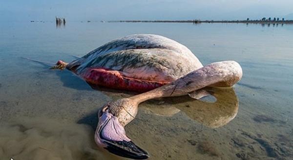 مرگ مشکوک تعدادی از پرندگان مهاجر در خلیج گرگان